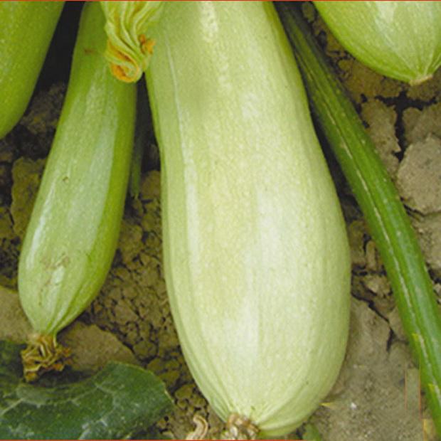 Сорт кабачка: Белоплодные