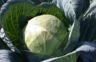 Сорт капусты белокочанной: Белорусская 455