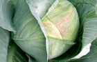 Сорт капусты белокочанной: Белтис f1