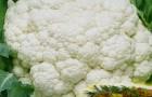 Сорт капусты цветной: Белый замок