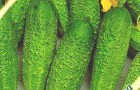 Сорт огурца: Бенефис f1