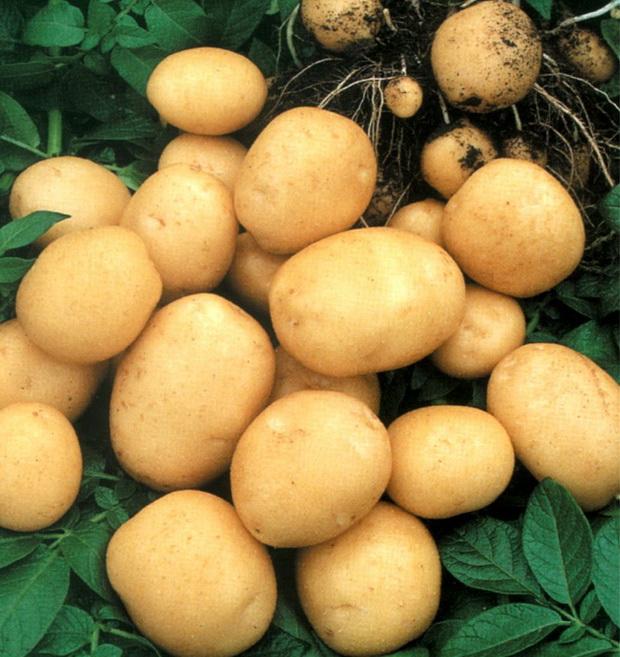 Сорт картофеля: Беттина