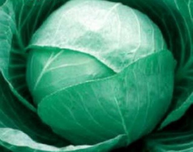 Сорт капусты белокочанной: Бирюза плюс