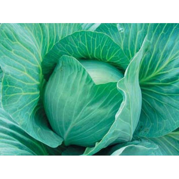 Сорт капусты белокочанной: Блоктор   f1