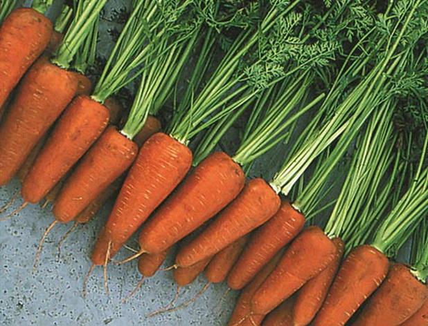 Сорт моркови: Болеро   f1