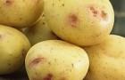 Сорт картофеля: Бонни