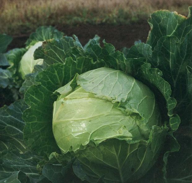 Сорт капусты белокочанной: Бразаро