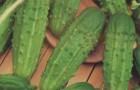 Сорт огурца: Бригадир f1