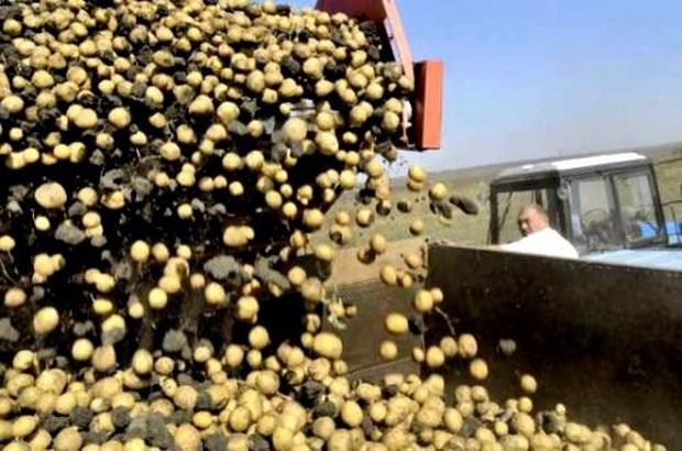 Сорт картофеля: Брянская новинка