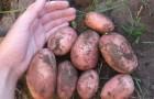 Сорт картофеля: Брянский красный