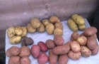 Сорт картофеля: Брянский юбилейный