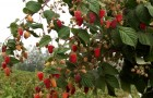 Сорт малины: Брянское диво