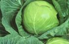 Сорт капусты белокочанной: Булат f1
