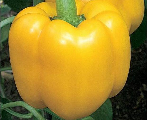 Сорт перца сладкого: Буржуин   f1
