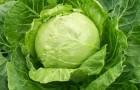 Сорт капусты белокочанной: Быстрица f1
