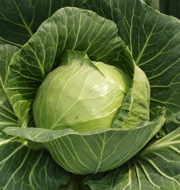 Сорт капусты белокочанной: Чамп   f1