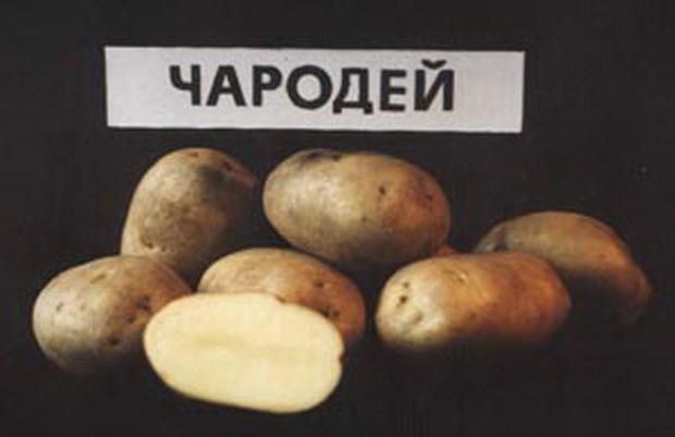 Сорт картофеля: Чародей