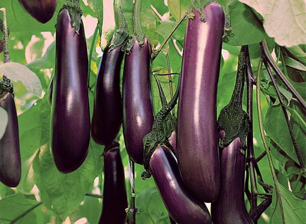 Сорт баклажана: Черный опал