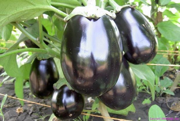 Сорт баклажана: Черный ворон   f1