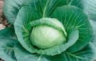 Сорт капусты белокочанной: Чессма f1