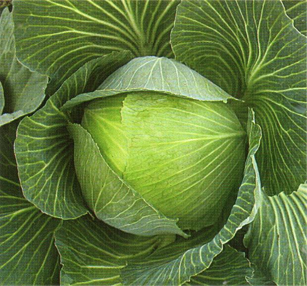 Сорт капусты белокочанной: Чирс   f1