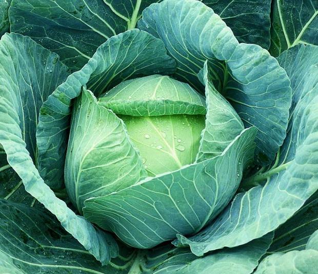Сорт капусты белокочанной: Чиз   f1