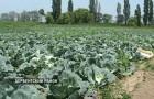 Сорт капусты белокочанной: Дербентская местная улучшенная