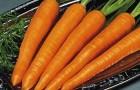 Сорт моркови: Детская сладость