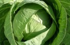 Сорт капусты белокочанной: Девотор f1