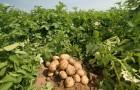 Сорт картофеля: Дина