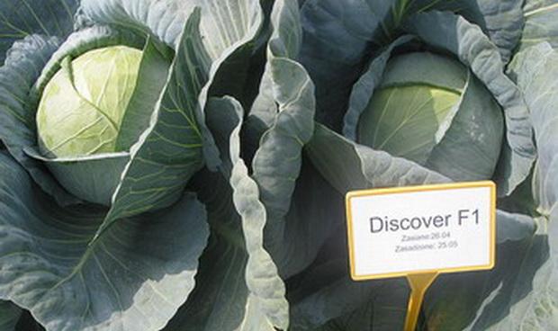 Сорт капусты белокочанной: Дискавер   f1