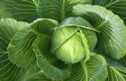 Сорт капусты белокочанной: Дитмаршер фрюер