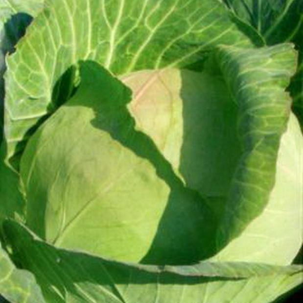 Сорт капусты белокочанной: Дублер   f1