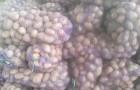 Сорт картофеля: Дубрава