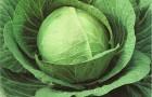 Сорт капусты белокочанной: Джигит f1