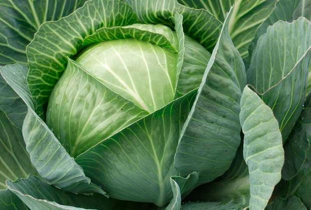 Сорт капусты белокочанной: Экспект   f1