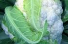 Сорт капусты цветной: Энканто f1