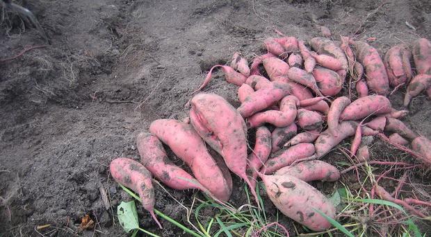 Сорт картофеля: Факел
