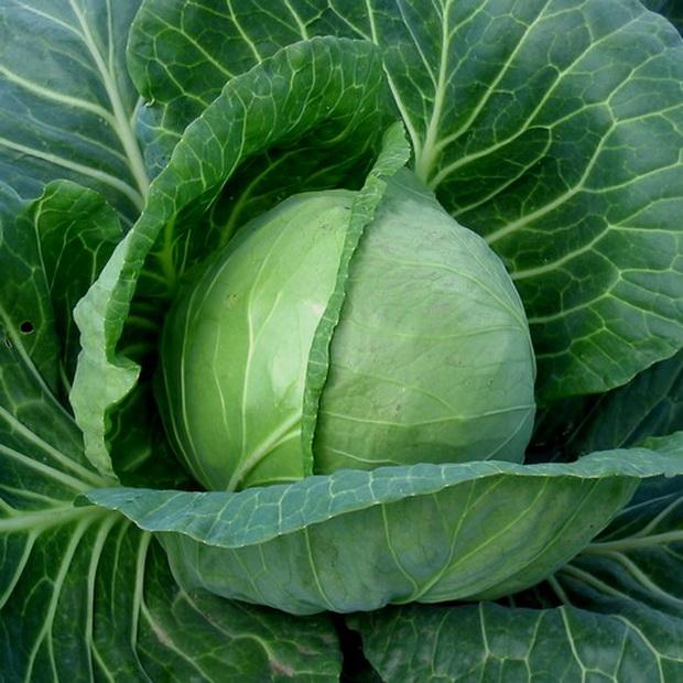 Сорт капусты белокочанной: Фарао   f1