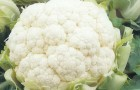 Сорт капусты цветной: Фарго f1