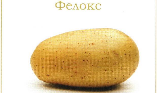 Сорт картофеля: Фелокс