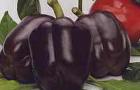 Сорт перца сладкого: Фиолет f1