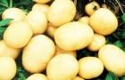 Сорт картофеля: Фокинский