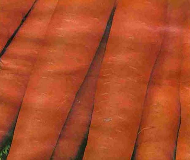 Сорт моркови: Фонтана   f1