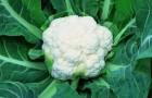 Сорт капусты цветной: Фремонт f1