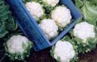 Сорт капусты цветной: Фридом f1