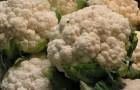 Сорт капусты цветной: Фристайл f1