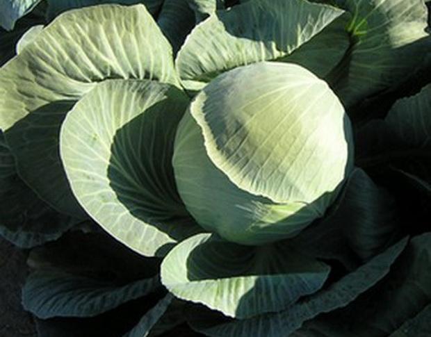 Сорт капусты белокочанной: Фундакси   f1