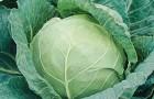 Сорт капусты белокочанной: Гарант f1