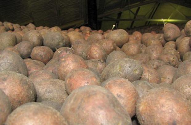Сорт картофеля: Гарант